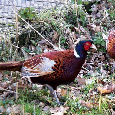 Two male Pheasants on Southrepps Nature Reserve, Norfolk, UK.