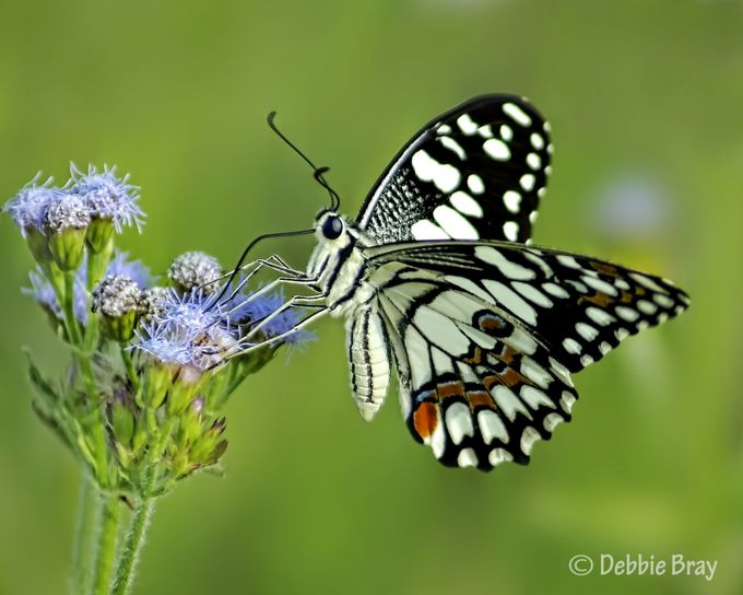 Swallowtail   by Deboodle - Small Things In Nature Photo Contest
