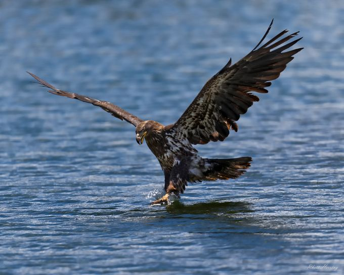 Juvenile Bald Eagle by RhettHerring - Just Eagles Photo Contest