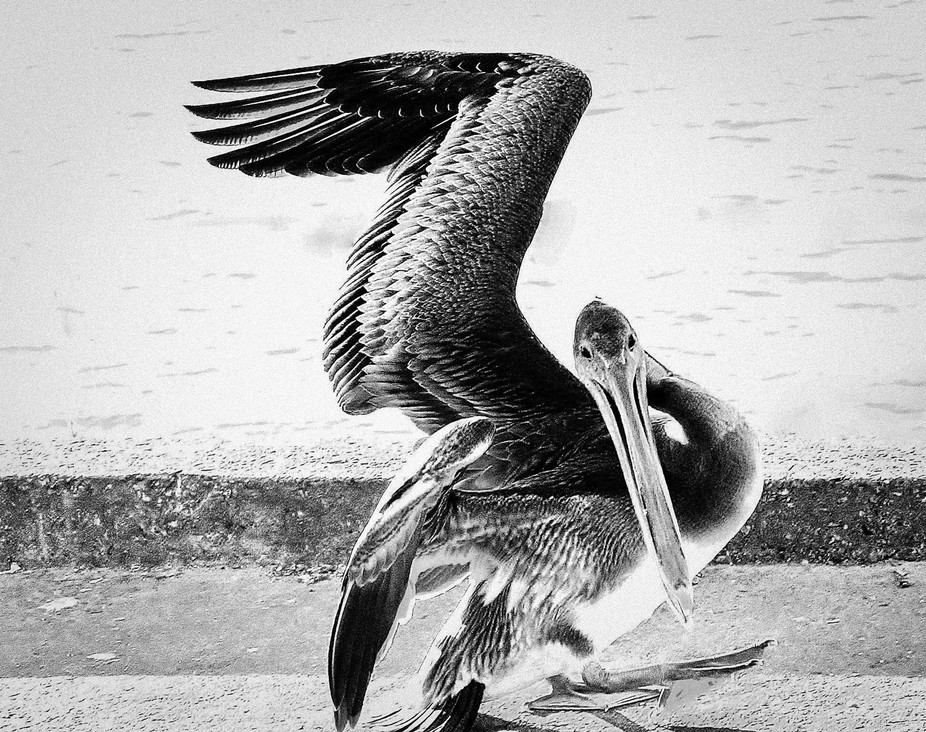 The dance of the Pelican