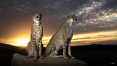 Eye to ey with the cheetah