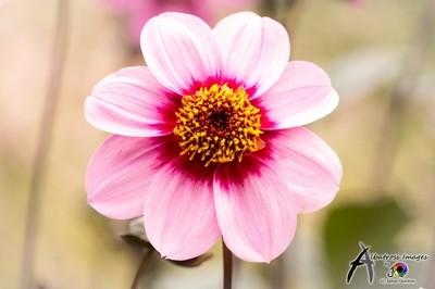 exquisite dahlia Marie Antoinette