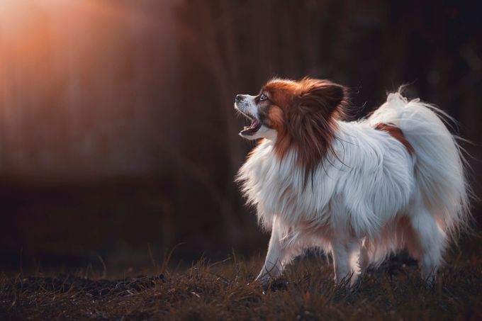 Jacko the Papillon by dasBildprojekt - Animals And Rule Of Thirds Photo Contest