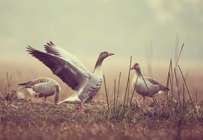 Greylag goose stretching...