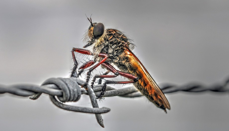 Robber Fly 3