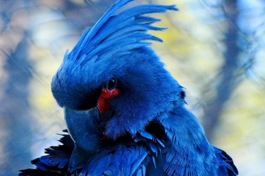 IMG_5561.jpg  black palm cockatoo