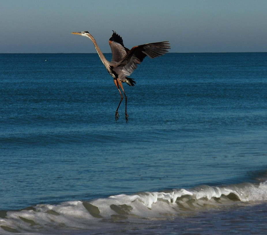 Gorgeous day at the beach with many gulls and this grey Heron
