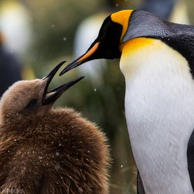 King penguins feeding in South Georgia.