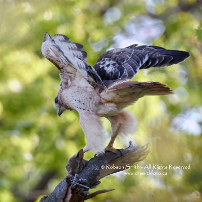 Red-tailed hawk on branch with prey Eastern cottontail rabbit in talon - Buteo jamaicensis,  Sylvilagus floridanus - Photo by Robson Smith