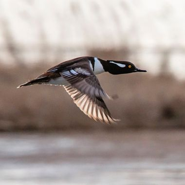 This hooded merganser saw me coming - and I saw him going -- lucky enough to capture him in flight - with the back light of early morning highlighting his wings.