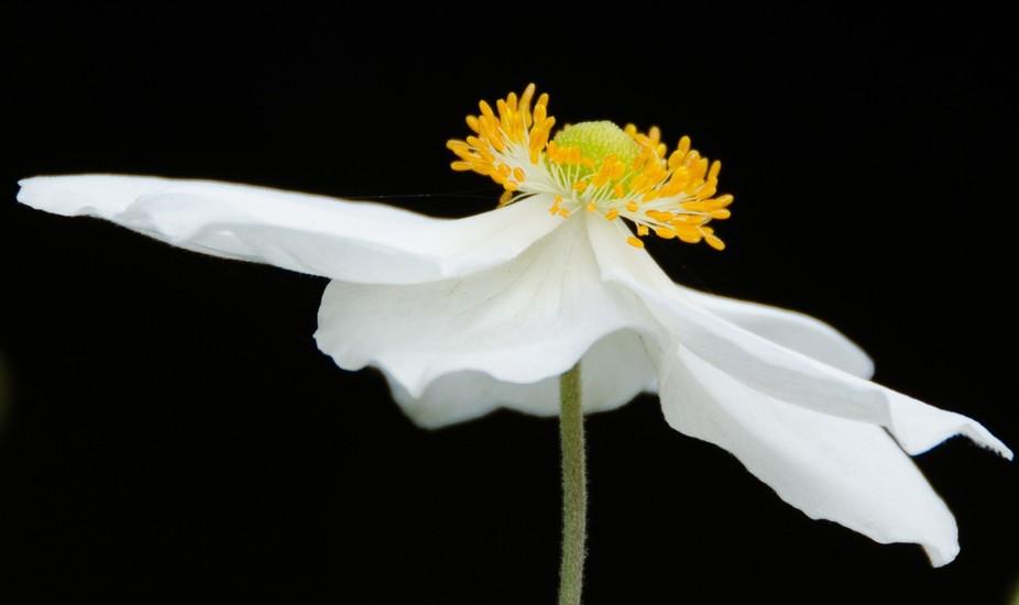 Japanese anemone. White flower.