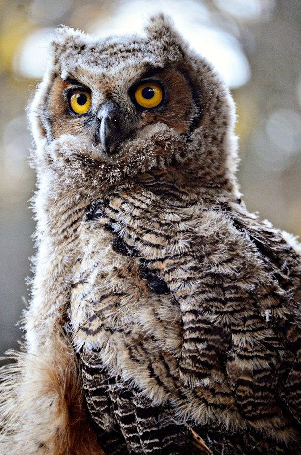 _DLS0551 by CatsNCameras - Beautiful Owls Photo Contest