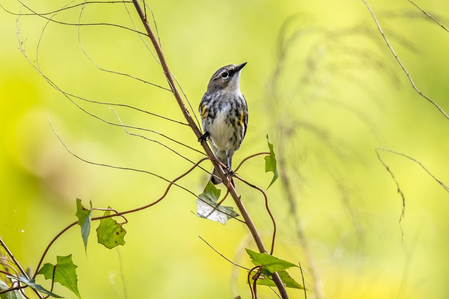 Yellow-rumped warbler (Myrtle's) in Corkscrew Swamp Sanctuary, Florida