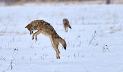 Coyote Mid Air