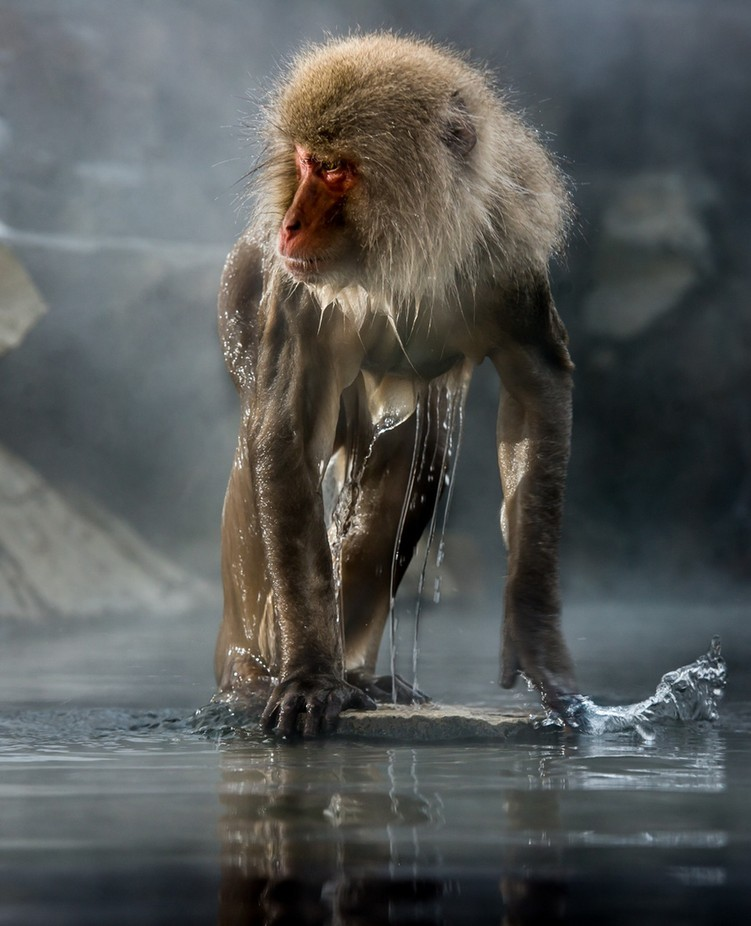 Alpha Macaque  by lindiekolver - Monkeys And Apes Photo Contest