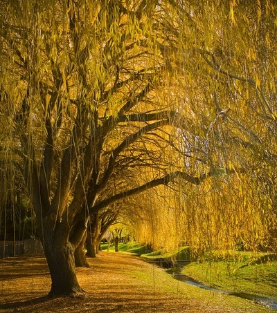 under the willows