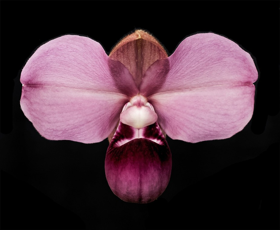After shooting this hot pink Paphiopedilum (Lady's Slipper Orchid) against a black backg...