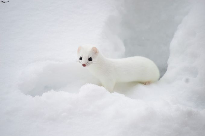 Ermine 2 by Maggie64 - Small Wildlife Photo Contest
