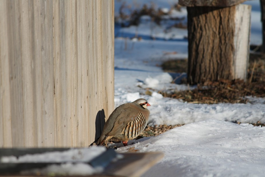 This bird started hanging out in front our house. After the snow storm, he seemed almost tame.