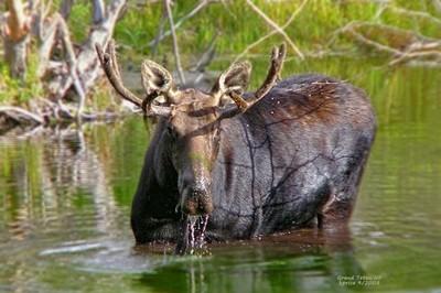 Munching Moose