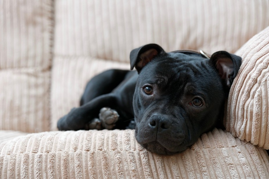 Our 10 month old Staffordshire Bull Terrier, 'Fozzie', chilling out.