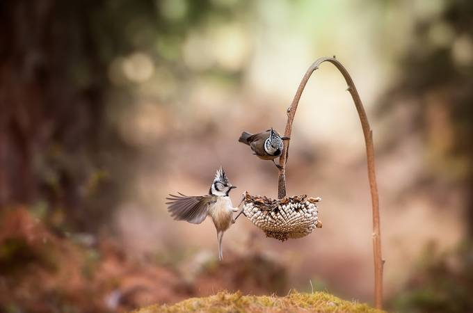 Crested tit || by aidagri - Small Things In Nature Photo Contest