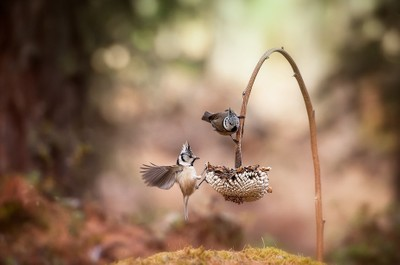 Crested tit ||