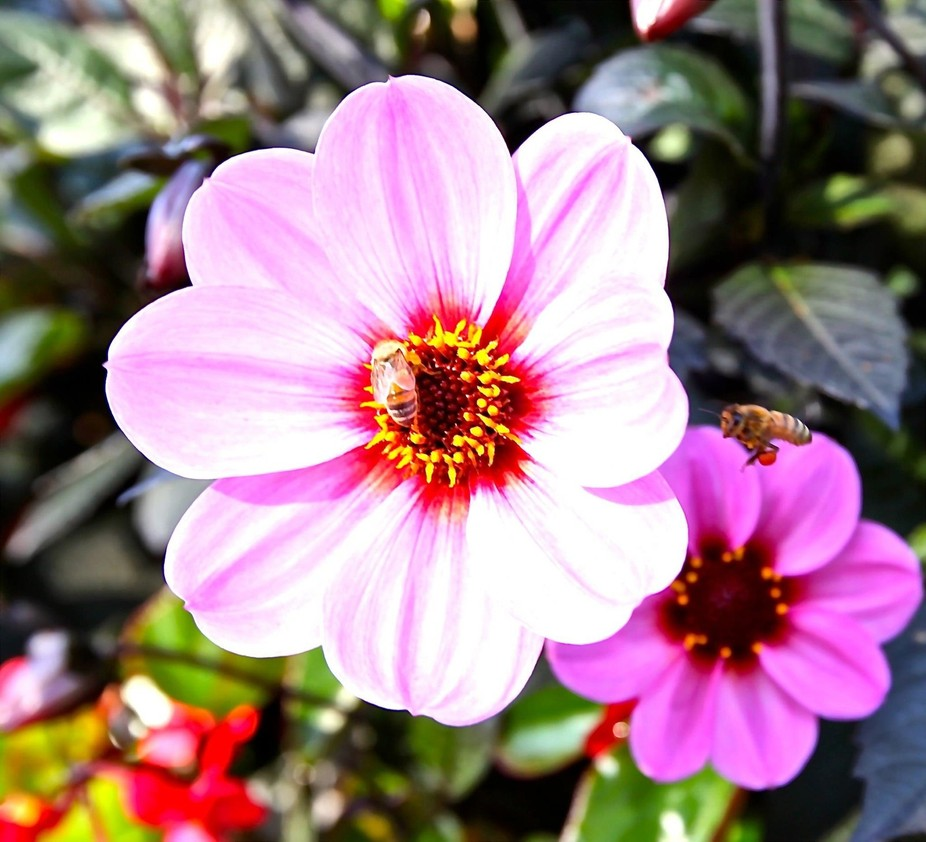 Bee gives its %22cherry%22 to a flower!