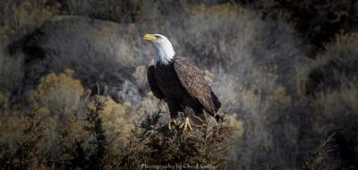 Bald Eagle in Southern Oregon