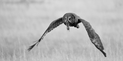 Successful hunt by a great grey owl