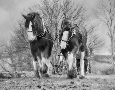 Working Horses b&w