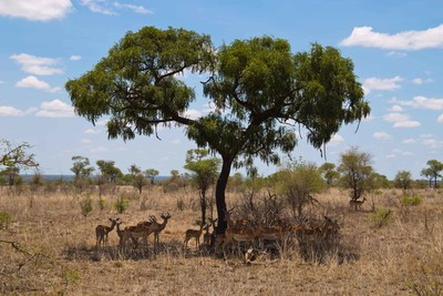 Impalas in the Kruger Nationalpark - South Africa