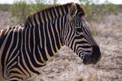 Zebra in the Kruger Nationalpark - South Africa