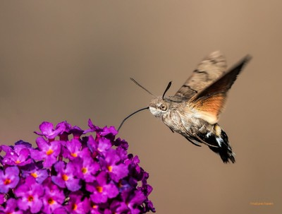 Humming-Away-On-The-Buddleia