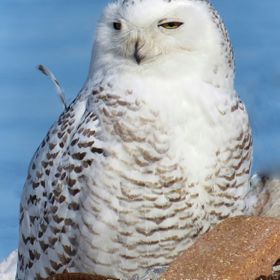 Immature Snowy Owl sunning at Tommy Thompson Park - before migrating north - Nyctea scandiaca - Photo by Robson Smith;   This magnificent sunning...
