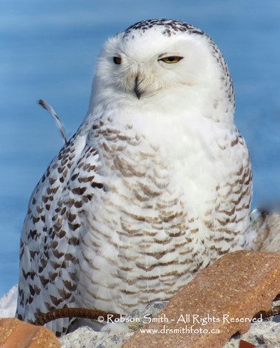 Immature Snowy Owl sunning at Tommy Thompson Park - Nyctea scandiaca - Photo by Robson Smith