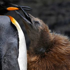 A king penguin chick looking for some food by using its beak to tap on the adult beak to let the parent know that he wants some food!