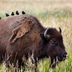 Bison and blackbirds in the Gros Ventre National Park, Wyoming
