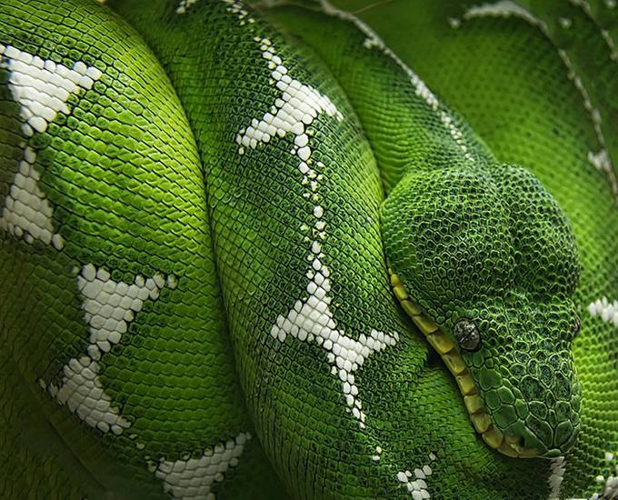 Emerald Tree Boa by FalconEyesPhotography - Snakes Photo Contest