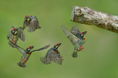 Coppersmith Barbet flying into the nest #2