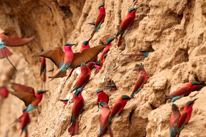 Southern Carmine Bee-Eaters by thomasretterath