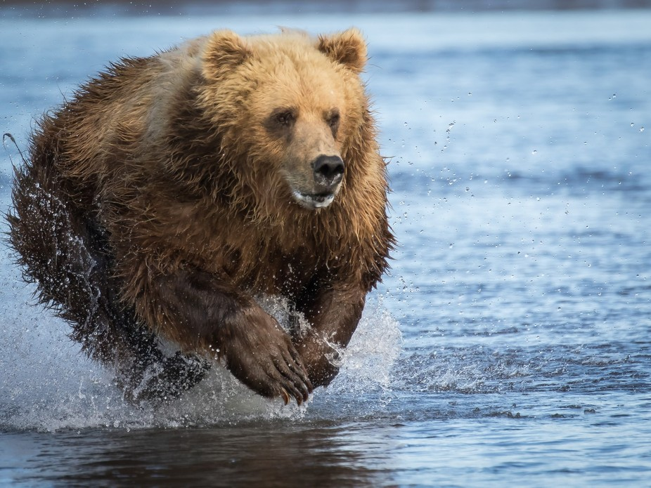 560A2708.jpg BROWN BEAR ON THE SALMON RUN IN ALASKA