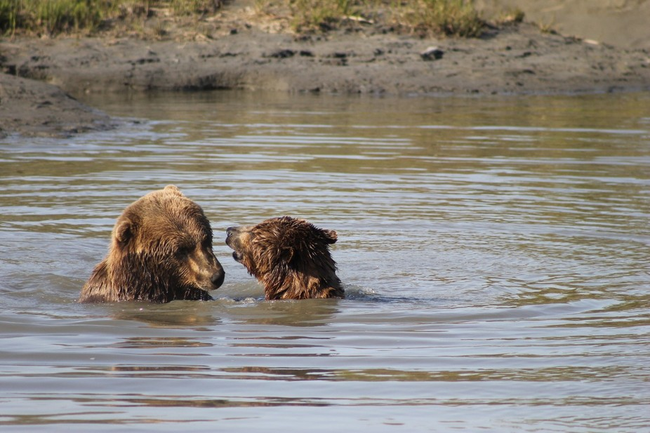 Alaska wildlife preservation, bears in water playing
