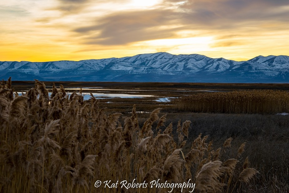 A close-up of golden cat tails with snowcapped mountains and a golden sunset in the background.