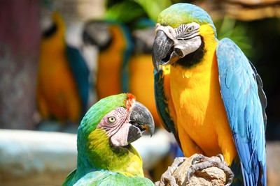 Playful Blue & Yellow Macaws - Giant Parrots