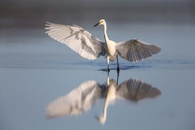 Little Egret - Chase!