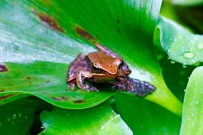 Mimic Rain Frog