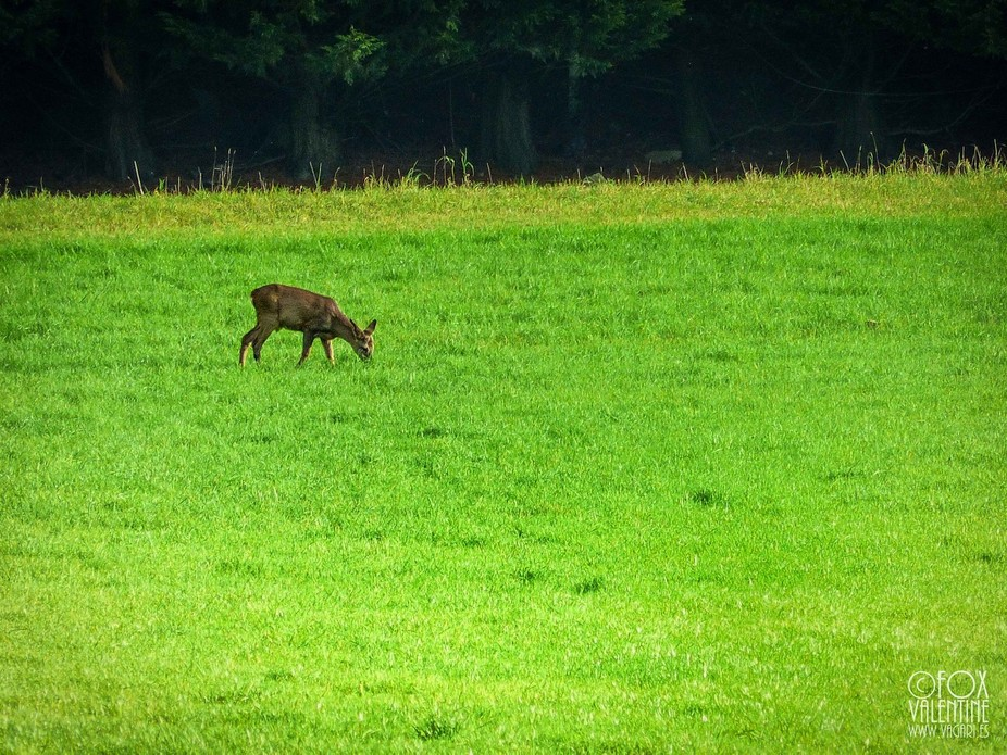 A deer ventures out of the woods into a field