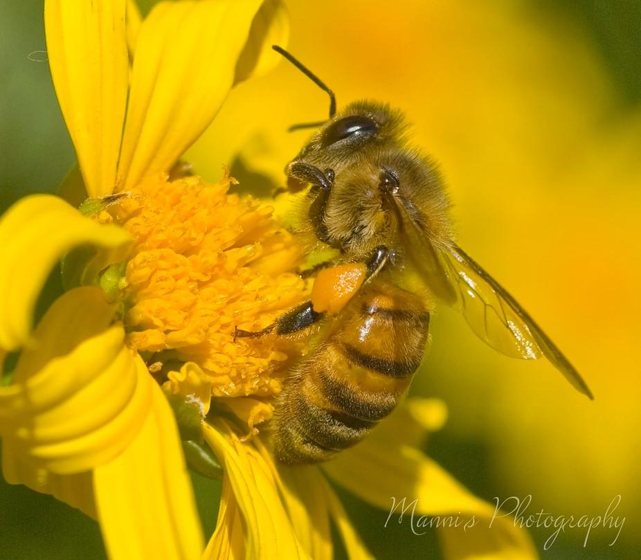 Honeybee_4101_2