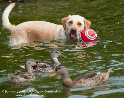 Fred the Lab in water Sticking tongue out at swimming Mallards - Photo by Robson Smith